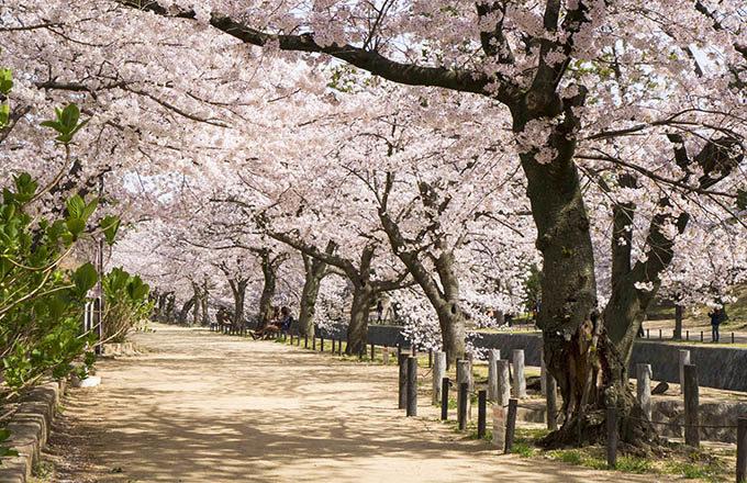 夙川の桜並木